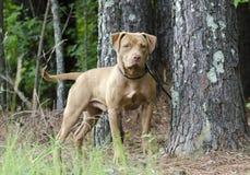 Cão masculino de Pitbull Terrier do americano, fotografia da adoção do animal de estimação Foto de Stock Royalty Free