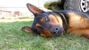 Cão masculino grande que coloca na grama video estoque