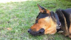 Cão masculino grande que coloca na grama vídeos de arquivo