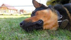 Cão masculino grande que coloca na grama filme
