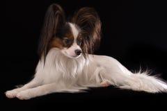 Cão masculino novo bonito Toy Spaniel Papillon continental no fundo preto imagem de stock