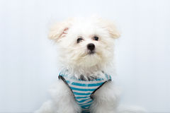 Cão minúsculo da raça do cachorrinho de Shih-tzu imagens de stock