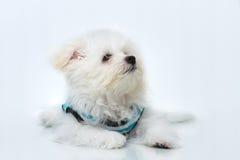 Cão minúsculo da raça do cachorrinho de Shih-tzu fotografia de stock