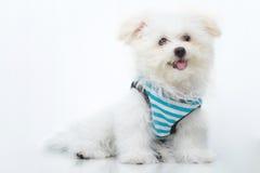 Cão minúsculo da raça do cachorrinho de Shih-tzu foto de stock