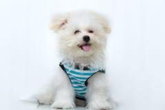 Cão minúsculo da raça do cachorrinho de Shih-tzu imagem de stock royalty free