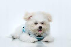 Cão minúsculo da raça do cachorrinho de Shih-tzu fotografia de stock royalty free