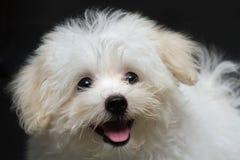 Cão minúsculo da raça do cachorrinho de Shihtzu imagens de stock royalty free