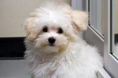 Cão minúsculo da raça do cachorrinho de Shihtzu foto de stock