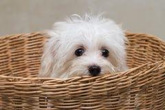 Cão minúsculo da raça do cachorrinho de Shihtzu imagens de stock