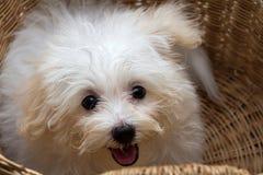 Cão minúsculo da raça do cachorrinho de Shihtzu imagem de stock royalty free