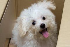 Cão minúsculo da raça do cachorrinho do tzu de Shih imagens de stock royalty free