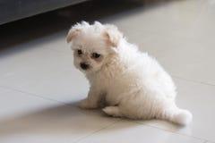 Cão minúsculo da raça do tzu de Shih fotografia de stock royalty free