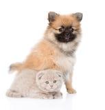Cão minúsculo do spitz que senta-se com gatinho escocês junto Isolado Imagens de Stock Royalty Free