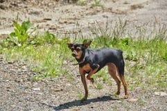 Cão mini - terrier de brinquedo do russo Imagens de Stock Royalty Free