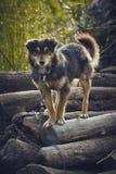 Cão miserável atento Fotos de Stock Royalty Free