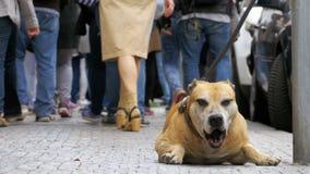 Cão miserável fiel que encontra-se no passeio e no proprietário de espera Os pés da passagem indiferente dos povos da multidão pe vídeos de arquivo