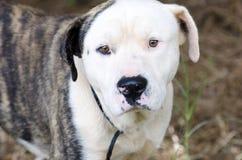 Cão misturado anatólio da raça do buldogue americano rajado e branco imagem de stock royalty free