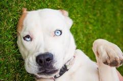 Cão misturado bonito do sangue Imagem de Stock Royalty Free