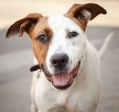 Cão misturado branco e vermelho muito amigável da raça fotografia de stock