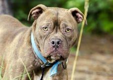 Cão misturado buldogue da raça do pitbull do chocolate imagens de stock royalty free