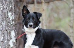 Cão misturado Collie Aussie preto e branco da raça da beira imagens de stock royalty free