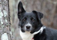 Cão misturado Collie Aussie preto e branco da raça da beira fotos de stock royalty free
