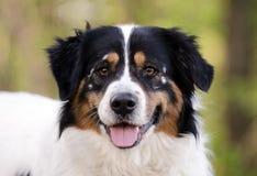 Cão misturado Collie Australian Shepherd da raça da beira fotografia de stock