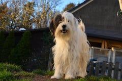 Cão misturado da raça Imagens de Stock Royalty Free