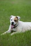 Cão misturado da raça do pugilista buldogue branco bonito Fotos de Stock Royalty Free