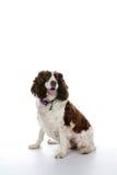 Cão misturado da raça em um fundo chave elevado Imagens de Stock Royalty Free