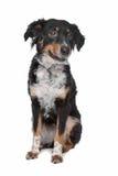 Cão misturado da raça, kooiker, ponteiro do Frisian Fotografia de Stock