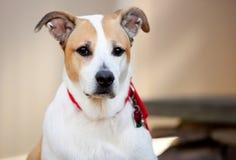 Cão misturado da raça na atenção Imagens de Stock Royalty Free