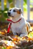 Cão misturado da raça na atenção Fotografia de Stock Royalty Free