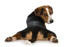 Cão misturado da raça no fundo branco Fotos de Stock