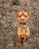 Cão misturado do mastim que veste um colar que olha na queda foto de stock