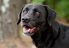 Cão misturado Labrador preto da raça Fotos de Stock