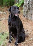 Cão misturado Labrador preto da raça Imagens de Stock