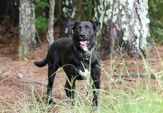 Cão misturado Labrador preto da raça Fotos de Stock Royalty Free