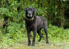 Cão misturado Labrador preto superior da raça Imagem de Stock