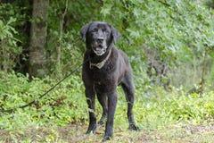 Cão misturado Labrador preto superior da raça Foto de Stock