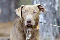 Cão misturado labrador retriever da raça do chocolate foto de stock royalty free