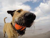 Cão misturado pequeno que joga com bola Imagem de Stock