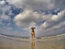 Cão misturado pequeno que joga com bola Fotografia de Stock Royalty Free
