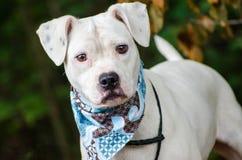Cão misturado Pitbull branco da raça do pugilista imagem de stock royalty free