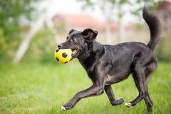 Cão misturado preto da raça que joga com bola do futebol Fotografia de Stock