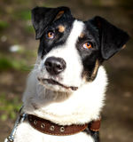 Cão misturado retrato da raça Imagem de Stock Royalty Free