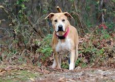 Cão misturado Shar-Pei da raça de Labrador Imagem de Stock