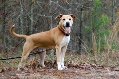 Cão misturado Shar-Pei da raça de Labrador Fotos de Stock