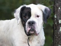 Cão misturado St Bernard branco da raça foto de stock royalty free