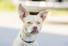 Cão misturado Terrier da raça de Boston da chihuahua fotografia de stock